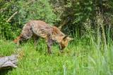 Beautiful old female vixen fox in long Summer grass in field