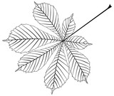 chestnut, buckeye ,(Aesculus hippocastanum)