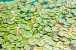 water lily leaves