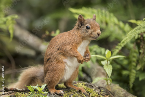 Tuinposter Eekhoorn Red squirrel, Sciurus vulgaris, on a tree trunk