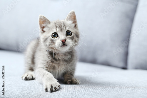 obraz lub plakat Beautiful little cat on a grey sofa