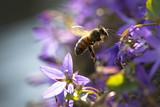 Closeup of a western honey bee or European honey bee (Apis mellifera) feeding nectar of purple bellflower Campanula flowers  - 114935980