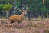 Strong male Red deer in field of Heather