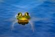 American bullfrog (Lithobates catesbeianus) floating in pond