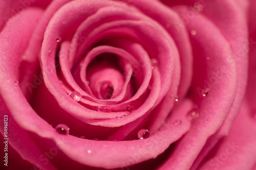 obraz lub plakat Pink rose macro