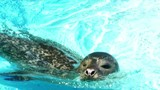 Adorable seal swims and enjoys in a pool, 4 K Video Clip