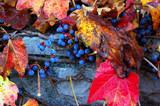 Wild vine in autumn