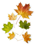 Fototapety Maple autumn leaves isolated on white background