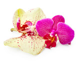 Purple and yellow orchid flowers