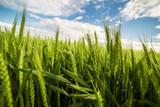 Green wheat field - 115015987