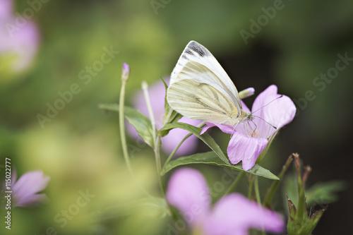 Papiers peints Nature Witte vlinder