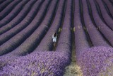 Sunrise over fields of lavender in the Provence, France europe