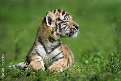 Zdjęcia proud little amur tiger cub posing outdoors