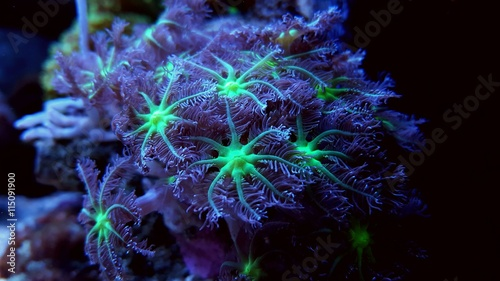 Close up coral photography - Clavularia Glove Polyps