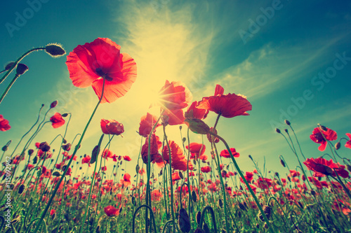 fototapeta na ścianę Poppy Flowers
