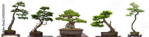 Bonsai Bäume Nadelbäume aus Japan - 115093339