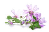 Flores de malva para medicinas alternativas aisladas en fondo blanco - 115106189