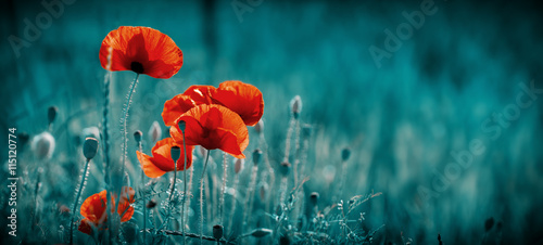 Amazing poppy field . Summer flowers .
