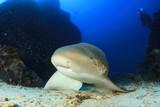 Leopard Shark. Scuba diver in background