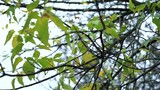 Slowmotion view on a leaves on branches of trees which fans breeze