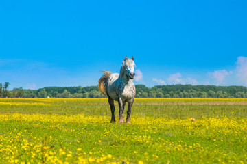 White horse on green field in spring in nature park Lonjsko polje, Croatia  © ilijaa