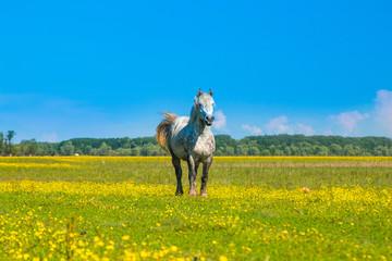 White horse on green field in spring in nature park Lonjsko polje, Croatia  © ilijaa