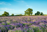 A field of Lavender growing in the English countryside in Somerset