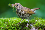 The Song Thrush and Moss - 115204170