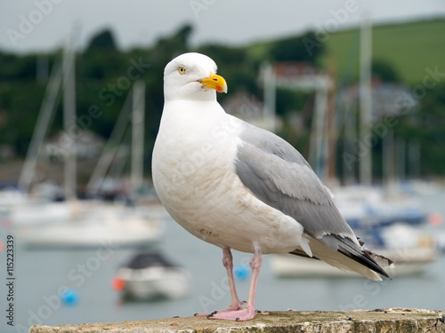 Seagull bird in Falmouth, Cornwall England. Poster