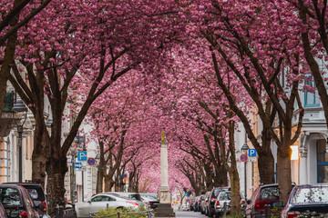 Kirschblüte in Bonn am Rhein