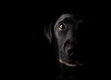 Fototapety Old Labrador