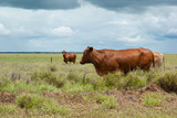 Fat healthy cattle in green pasture