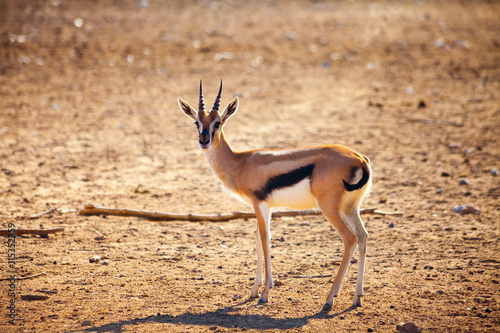 obraz lub plakat Young antelope in prairie