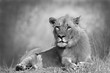Lion in black and white staring at the camera