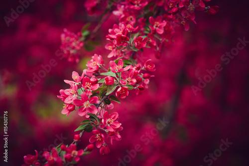 Zdjęcia na płótnie, fototapety na wymiar, obrazy na ścianę : Cherry blossom