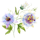 Watercolor passion flower - 115431761