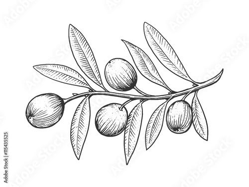 Fototapeta Olive branch engraving style vector