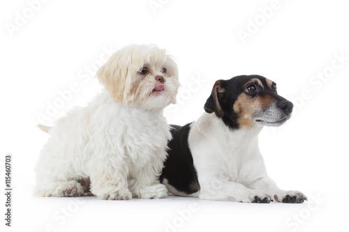 Poster duo chiens Shih Tzu et Jack Russel terrier