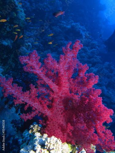 Fototapeta Red soft coral at Habili Ali, St John's reefs, Red Sea, Egypt