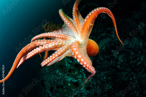 Poster Flight of  giant octopus in the deep. Japan (East) sea