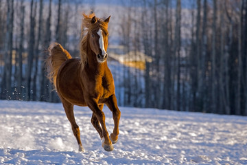 Chestnut Stallion galloping in snow
