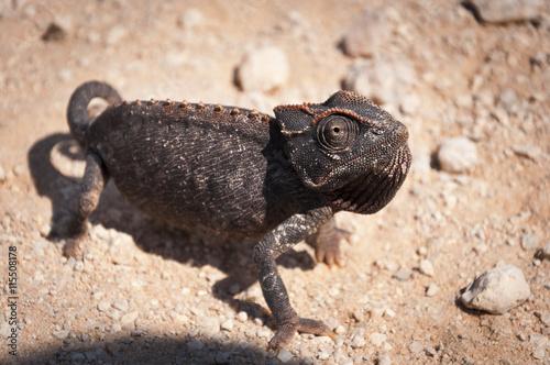 obraz lub plakat Chameleon in the desert in Namibia, Africa