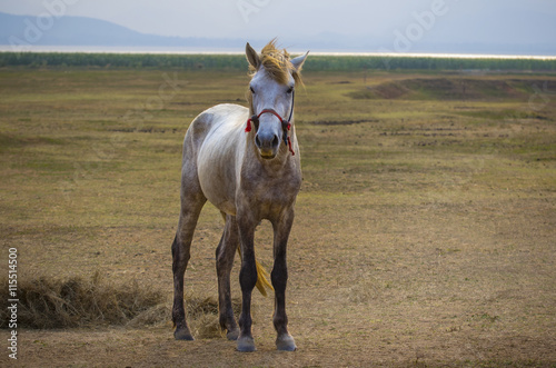 full body of white horse standing in rural meadow