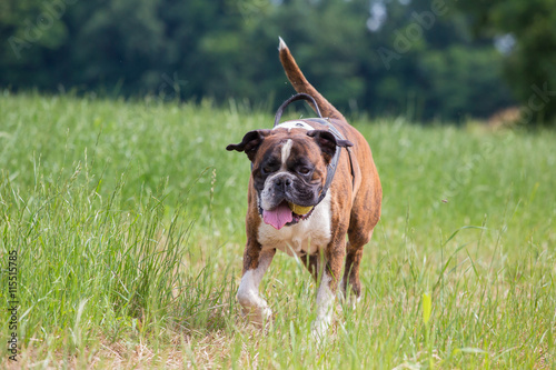 Running boxer dog, Italy