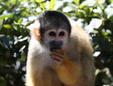 Portrait of a Squirrel Monkey