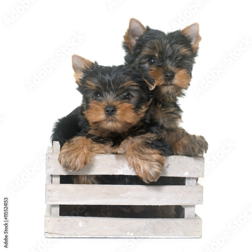 Fototapeta young yorkshire terrier