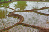 Terraced rice field with freshly planted saplings and the field flooded with water in Goa, India.