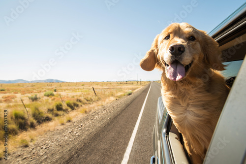 Poster Golden Retriever Dog on a road trip