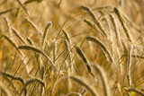 wheat field in close up view