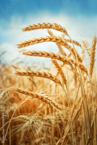 Foto op Canvas Natuur Golden cornfield in sunny day